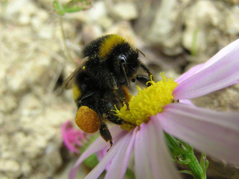 800px-Bumblebee_05