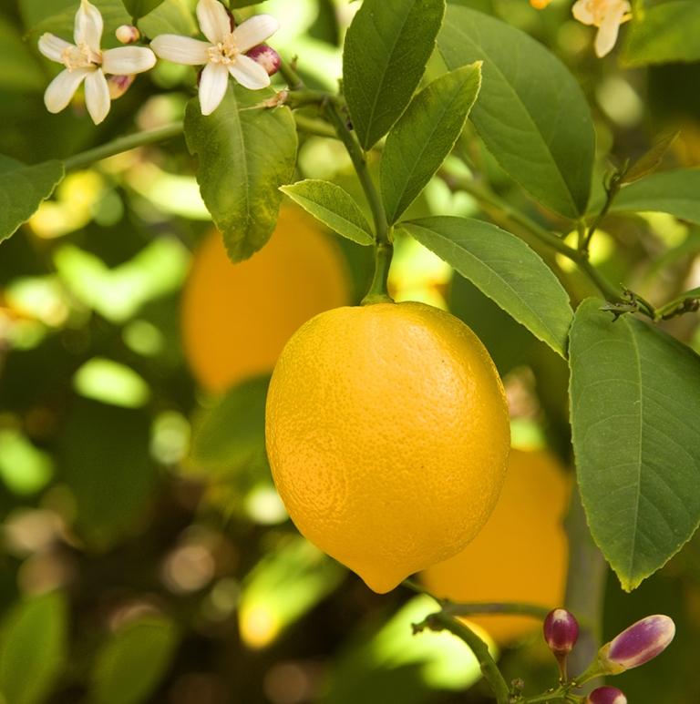Myer-Lemon-2-sq-reduced